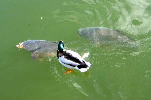 hanover_maschsee_carp_and_ducks